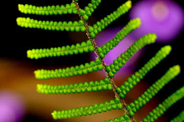 Scrambling coral-fern - Australia Scrambling coral-fern,fern,Plantae,Pteridophyta,Gleicheniales,Gleicheniaceae,Gleichenia,Gleichenia microphylla,plant,plants,flora,vegetation,foliage,greenery
