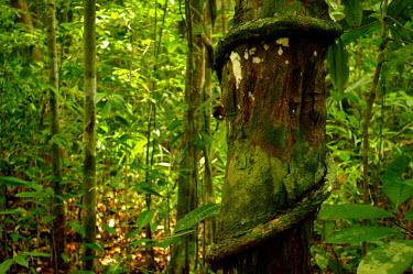 Tropical forest - Borneo Dipterocarpaceae,Plantae,Angiospermsm,Eudicots,Rosids,Malvales,plant,plants,flora,vegetation,foliage,greenery,forest,rainforest,Forest