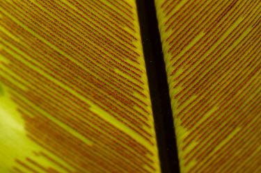 Close up of' a crow's-nest fern leaf - Australia Lined,lines,patterns,patterned,Pattern,rouge,Red,scarlet,crimson,Veins,Green,colours,color,colors,Colour,Leaf,leafs,leaves,Greenery,foliage,vegetation,stripe,Stripes,stripy,striped,coloration,Colourat