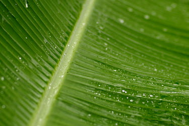 Banana plant leaf close up - Cook islands rains,raining,Rain,rainy,Terrestrial,ground,rain forest,tropical rainforest,tropical forest,jungle,Rainforest,jungles,Greenery,foliage,vegetation,forests,Forest,Leaf,leafs,leaves,environment,ecosystem