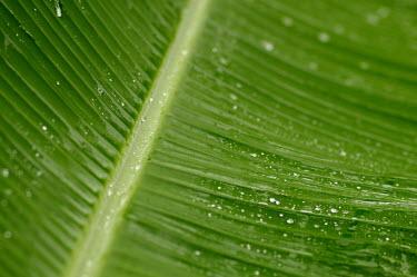 Banana plant leaf close up - Cook islands rains,raining,Rain,rainy,Terrestrial,ground,rain forest,tropical rainforest,tropical forest,jungle,Rainforest,jungles,Greenery,foliage,vegetation,forests,Forest,Leaf,leafs,leaves,environment,ecosystem