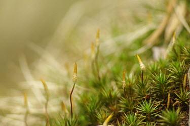 Juniper haircap moss - Catalonia Macro,macrophotography,Close up,Juniper haircap moss,Juniper-leaved hairmoss,juniper haircap,juniper polytrichum moss,sporophyte,gametophyte,Polytrichum juniperinum,Plantae,Bryophyta,Polytrichopsida,P