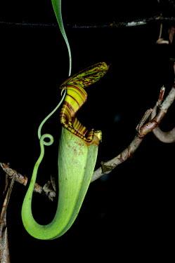 Tropical pitcher plant - Borneo Tropical pitcher plant,Plantae,Angiosperms,Eudicots,caryophyllales,Nepenthaceae,Nepenthes,plant,tropical,pitcher plant,flora,jungle,rainforest,forest