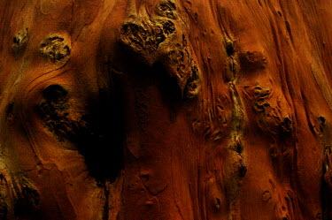 Tree bark in a tropical forest - Borneo Plantae,plant,tree,bark,jungle,rainforest,wood,Tree bark
