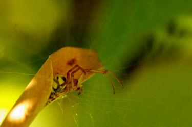 Leaf curling spider - Australia spider,spiders,Animalia,Arthropoda,Arachnida,Araneae,Araneidae,Phonognatha graeffei,Leaf curling spider