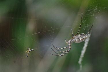 Lobed argiope with prey in its web - Spain spider,spiders,Animalia,Arthropoda,Arachnida,Araneae,Araneidae,orbweaver,Argiope lobata,Lobed argiope