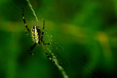 Wasp spider -Spain spider,spiders,Animalia,Arthropoda,Arachnida,Araneae,Araneidae,Argiope bruennichi,wasp spider,Wasp spider