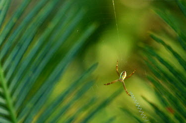 Argiope picta species of orb weaver spider - Australia Greenery,foliage,vegetation,blur,selective focus,blurry,depth of field,Shallow focus,blurred,soft focus,Green background,Close up,leaf,leafy,Leafy background,leaves,Macro,macrophotography,cob web,spid