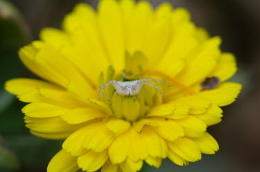 A crab spider on moss - Catalonia spider,spiders,Animalia,Arthropoda,Arachnida,Araneae,Thomisidae,crab spider,Clubiona subsultans