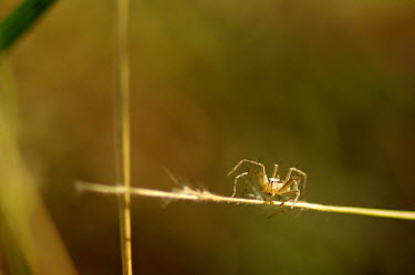 Lynx spider - Australia spider,spiders,Animalia,Arthropoda,Arachnida,Araneae,Oxyopidae,lynx spider,Oxyopes,Clubiona subsultans