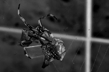 Spider webbing its prey - Borneo Black and White,black + white,monochrome,black & white,colours,color,colors,Colour,Close up,coloration,Colouration,Macro,macrophotography,cob web,spider web,Web,webs,spiderweb,cobweb,spider,spiders,An