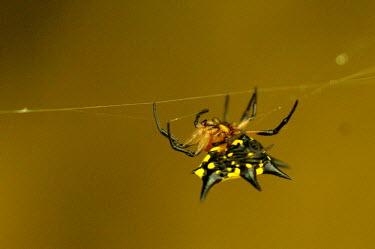 Doria's spiny spider - Vietnam Abdomen,abdominal,ab,abs,Close up,cob web,spider web,Web,webs,spiderweb,cobweb,Macro,macrophotography,Doria's spiny spider,Animalia,Arthropoda,Arachnida,Araneae,Araneidae,Gasteracantha doriae