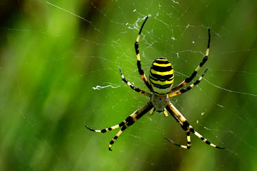 Wasp spider - Spain colours,color,colors,Colour,coloration,Colouration,yellow,Close up,patterns,patterned,Pattern,cob web,spider web,Web,webs,spiderweb,cobweb,stripe,Stripes,stripy,striped,Macro,macrophotography,spider,s