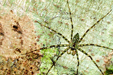 A well camouflaged lichen huntsman spider - Borneo hidden,crypsis,Camouflage,camo,disguise,disguised,camouflaged,coloration,Colouration,Close up,Green,leg,Macro,macrophotography,stripe,Stripes,stripy,striped,colours,color,colors,Colour,patterns,patter