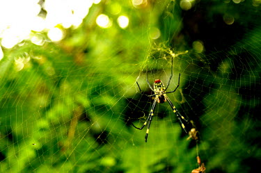 Orb weaver in its web - Vietnam Macro,macrophotography,rain forest,tropical rainforest,tropical forest,jungle,Rainforest,jungles,Terrestrial,ground,cob web,spider web,Web,webs,spiderweb,cobweb,Jungle,environment,ecosystem,Habitat,Gr