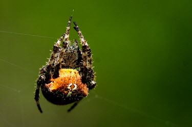 Orb weaver spider - Menorca Close up,Abdomen,abdominal,ab,abs,Macro,macrophotography,spider,spiders,Animalia,Arthropoda,Arachnida,Araneae,Araneidae,orbweaver,Clubiona subsultans