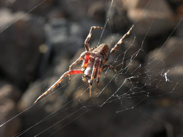 Spider in its web - Canary Islands web,webbing,Web-building,Building,Macro,macrophotography,cob web,spider web,Web,webs,spiderweb,cobweb,Close up,Animalia,Arthropoda,Arachnida,Araneae,spider,spiders