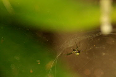 Orb spider in its web - Australia Green background,blur,selective focus,blurry,depth of field,Shallow focus,blurred,soft focus,cob web,spider web,Web,webs,spiderweb,cobweb,Macro,macrophotography,Close up,Animalia,Arthropoda,Arachnida,