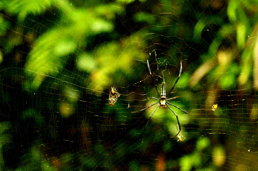 An orb spider with prey in its web - Borneo Macro,macrophotography,cob web,spider web,Web,webs,spiderweb,cobweb,Close up,Animalia,Arthropoda,Arachnida,Araneae,Nephilidae,spider,orb spider,spiders,web