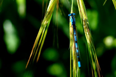 Common blue damselfly - Spain damselfly,damselflies,insects,insect,Common blue damselfly,Enallagma cyathigerum,Insects,Insecta,Odonata,Dragonflies and Damselflies,Arthropoda,Arthropods,Agrion Porte-Coupe,L�agrion Porte-coupe,Ponds