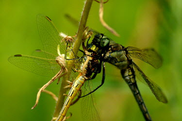 A dragonfly cannibalising another dragonfly - Spain Killing,prey,preyed,predation,killed,kill,Close up,food,feed,hungry,eat,hunger,Feeding,eating,hunt,hunter,stalking,Hunting,stalker,stalk,Macro,macrophotography,Carnivorous,Carnivore,carnivores,Animali