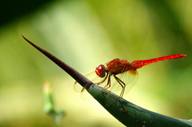 Scarlet darter - Spain scarlet darter,darter,insect,insects,dragonfly,dragonflies,Common scarlet-darter,Crocothemis erythraea,Arthropoda,Arthropods,Skimmers,Libellulidae,Odonata,Dragonflies and Damselflies,Insects,Insecta,L