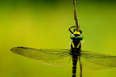Dragonfly - Spain Macro,macrophotography,blur,selective focus,blurry,depth of field,Shallow focus,blurred,soft focus,Close up,Green,coloration,Colouration,colours,color,colors,Colour,Animalia,Arthropoda,Insecta,Odonata