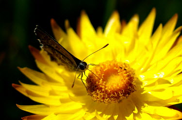 Butterfly on a starflower - Australia Strawflower,golden everlasting,flower,flowers,butterfly,butterflies,insect,insects,Animalia,Arthropoda,Insecta,Lepidoptera,Xerochrysum bracteatum