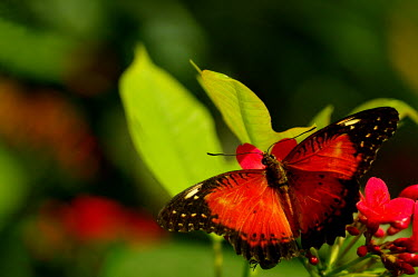 Red lacewing - Butterfly Wonderland, USA colours,color,colors,Colour,Macro,macrophotography,Close up,rouge,Red,scarlet,crimson,coloration,Colouration,Red lacewing,Cethosia biblis,butterfly,butterflies,insect,insects,Animalia,Arthropoda,Insec