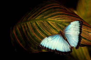 Common morpho - Butterfly Wonderland, USA leaf,leafy,Leafy background,leaves,coloration,Colouration,Macro,macrophotography,azul,Blue,Close up,colours,color,colors,Colour,Greenery,foliage,vegetation,Neon,glowing,glow,Common morpho,Morpho helen