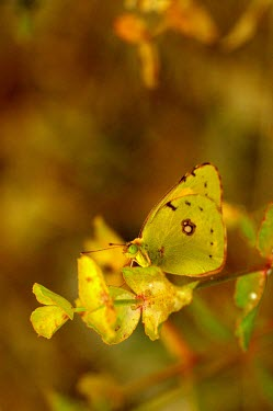Clouded yellow butterfly - Spain butterfly,butterflies,insect,insects,Animalia,Arthropoda,Insecta,Lepidoptera,Pieridae,Colias crocea,clouded yellow