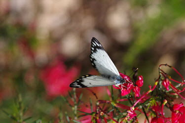 Caper white butterfly on pink flowers - Australia Belenois java,Caper white,Animalia,Arthropoda,Insecta,Lepidoptera,Pieridae,butterfly,butterflies,insect,insects,invertebrate,invertebrates
