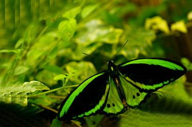 Common green birdwing - Butterfly Wonderland, USA Close up,Macro,macrophotography,Common green birdwing,Cape York birdwing,Priam's birdwing or northern birdwing,Animalia,Arthropoda,Insecta,Lepidoptera,Papilionidae,Ornithoptera priamus,butterfly,butte