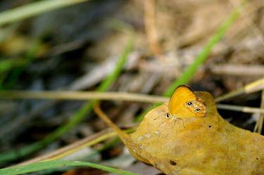 Butterfly - Australia Macro,macrophotography,Close up,Animalia,Arthropoda,Insecta,Lepidoptera,butterfly,butterflies,insect,insects