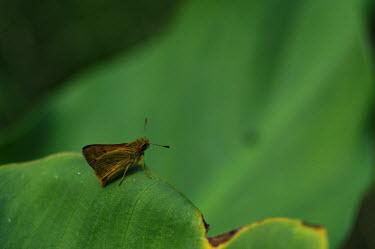 Butterfly - Australia Macro,macrophotography,Close up,butterfly,butterflies,insect,insects,Animalia,Arthropoda,Insecta,Lepidoptera,Papilionidae,Hesperiidae,skipper,dart