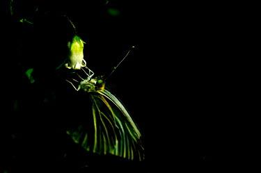 Butterfly - Australia Close up,Macro,macrophotography,butterfly,butterflies,Animalia,Arthropoda,Insecta,Lepidoptera