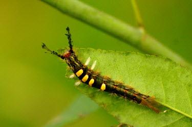 Caterpillar of a cocoa tussock moth - Vietnam caterpillars,Caterpillar,Close up,Macro,macrophotography,Stage,Animalia,Arthropoda,Insecta,Lepidoptera,caterpillar,larvae,larval,larva,insect,insects,invertebrate,invertebrates,Cocoa tussock moth,moth