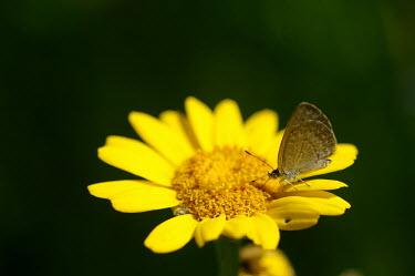 Common grass blue - Australia Common grass blue,Animalia,Arthropoda,Insecta,Lepidoptera,Lycaenidae,Zizina labradus,butterfly,butterflies