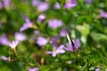 Butterfly on fairy fan-flower - Australia butterfly,butterflies,insect,insects,Animalia,Arthropoda,Insecta,Lepidoptera,Scaevola aemula,flower,flowers,fairy fan-flower,common fan-flower