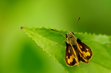 Grass skipper butterfly - Australia Macro,macrophotography,Close up,Green background,butterfly,butterflies,insect,insects,Animalia,Arthropoda,Insecta,Lepidoptera,Papilionidae,Hesperiidae,skipper,dart,grass skipper