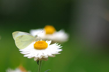 Cabbage white - Australia Cabbage white,Small white,White butterfly,Small cabbage white,Cabbage butterfly,butterfly,butterflies,Animalia,Arthropoda,Insecta,Lepidoptera,Pieridae,Pieris rapae
