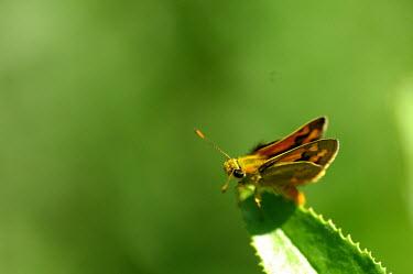 Yellow-banded dart - Australia Yellow-banded dart,butterfly,butterflies,insect,insects,Animalia,Arthropoda,Insecta,Lepidoptera,Papilionidae,Hesperiidae,Ocybadistes walkeri