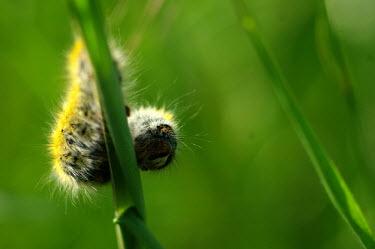 Caterpillar curled on a blade of grass - Spain Close up,Macro,macrophotography,Green background,Stage,caterpillars,Caterpillar,Animalia,Arthropoda,Insecta,Lepidoptera,caterpillar,larvae,larval,larva,insect,insects,invertebrate,invertebrates
