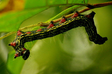 Red legged caterpillar upside down - Vietnam Stage,caterpillars,Caterpillar,Macro,macrophotography,Close up,Animalia,Arthropoda,Insecta,Lepidoptera,caterpillar,larvae,larval,larva,insect,insects,invertebrate,invertebrates,Azalea caterpillar,Data