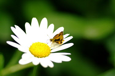 Grass dart butterfly - Australia butterfly,butterflies,insect,insects,Animalia,Arthropoda,Insecta,Lepidoptera,Papilionidae,Hesperiidae,skipper,dart,Grass dart