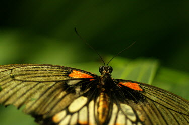 Butterfly - Butterfly Wonderland, USA Animalia,Arthropoda,Insecta,Lepidoptera,butterfly,butterflies,insect,insects