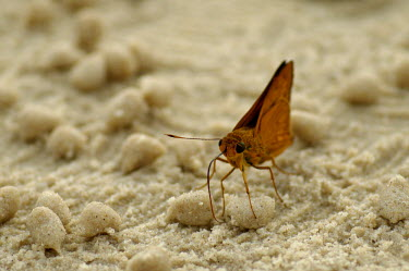 Butterfly drawing minerals from moisture in the sand - Borneo Animalia,Arthropoda,Insecta,Lepidoptera,butterfly,butterflies,insect,insects,invertebrate,invertebrates,proboscis