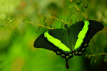 Emerald swallowtail - Butterfly Wonderland, USA coloration,Colouration,Macro,macrophotography,colours,color,colors,Colour,Close up,Green background,Green,butterfly,butterflies,insect,insects,Animalia,Arthropoda,Insecta,Lepidoptera,Papilionidae,Papi