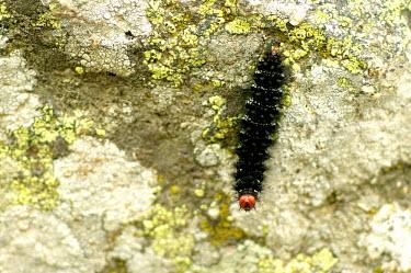 Glanville fritillary caterpillar -Catalonia Stage,caterpillars,Caterpillar,Close up,Macro,macrophotography,Glanville fritillary,Melitaea cinxia,Animalia,Arthropoda,Insecta,Lepidoptera,Nymphalidae,butterfly,butterflies,insect,insects,invertebrat