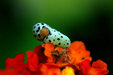 Brightly covered caterpillar on a flower - Catalonia Animalia,Arthropoda,Insecta,Lepidoptera,caterpillar,caterpillars,larvae,larval,larva,insect,insects,invertebrate,invertebrates